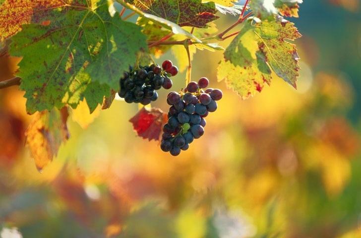 French Ridge Vineyards, Killbuck, Ohio, United States of America