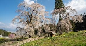 Japanese Weeping Cherry Tree