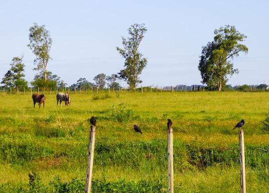 Urugvajana, Brazīlija