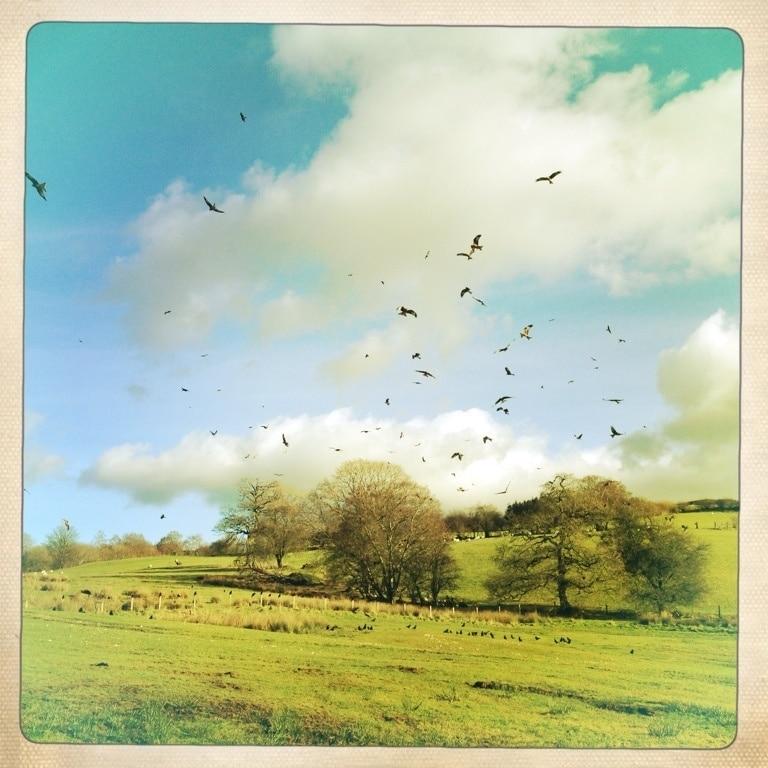Gigrin Farm Red Kite Feeding Centre, Rhayader, Wales, United Kingdom