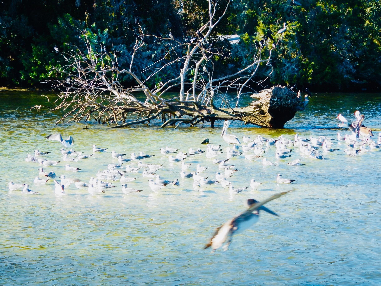 Crystal River National Wildlife Refuge, Crystal River, Florida, USA