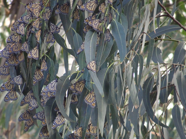 Monarch Grove Butterfly Sanctuary, Pacific Grove, Kalifornien, USA