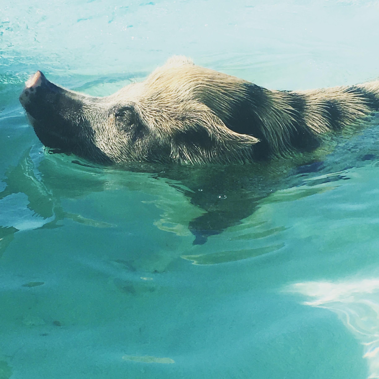 Pig Beach, Exuma, Bahamas