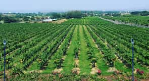 Sula Vineyards – vinogradi