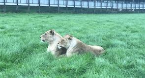 Woburn Safari Park (safari)