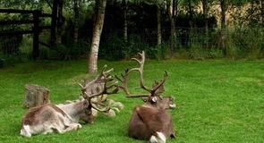 Cairngorm Reindeer Centre (jelení park)