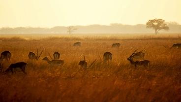 Blackbuck-Nationalpark/