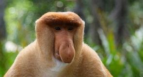 Labuk Bay Proboscis Monkey Sanctuary (rezervácia opíc)