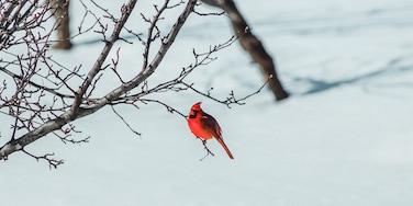 Male Cardinal in Kentwood Backyard