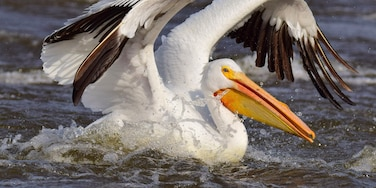 This photo of an American white pelican was taken below Lock and Dam 14 in Hampton, Illinois.  My friend, and fellow Trover contributor, @Bill Eaker were entertained by a group of pelicans looking to score a quick meal.