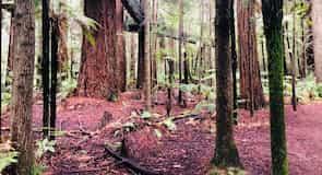 Redwoods Whakarewarewa 森林