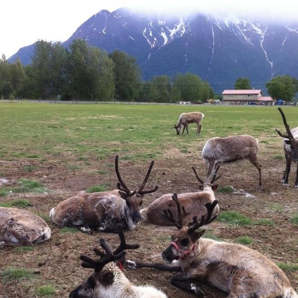 Reindeer Farm, Palmer, Alaska, United States of America