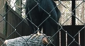 Karolayna Yırtıcı Kuş