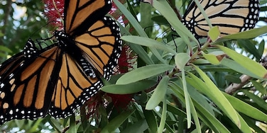 Butterflies are everywhere! They migrate here every year at this time in Point Clear, Alabama! #beautifuldiscoveries #mybackyard #baytowns #travel #historicplaces