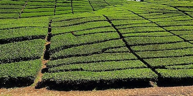 An amazing view of a tea plantation in Java.