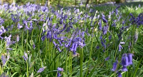 Yoxall Lodge Bluebell Woods