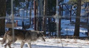 Colorado Wolf and Wildlife Center (úlfaathvarf)