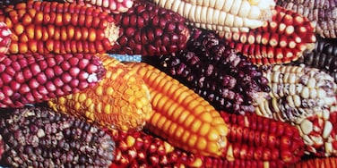 Standout colorful Andean corn....#colorful