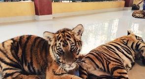 คุ้มเสือ