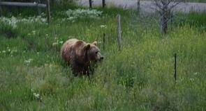 黃石熊世界