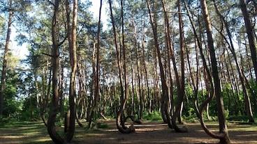 彎曲森林/