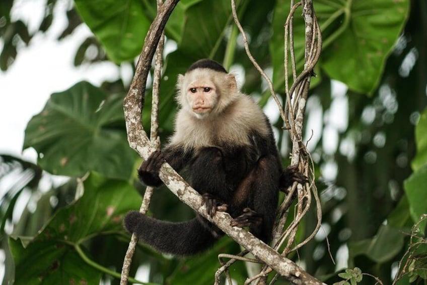 White-faced Capuchin Monkey in the Gatun Lake