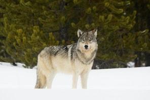 Private Yellowstone Wildlife Tour