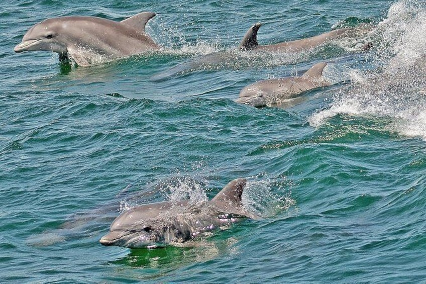 Show item 3 of 10. Bottlenose Dolphins Playing off Cape May