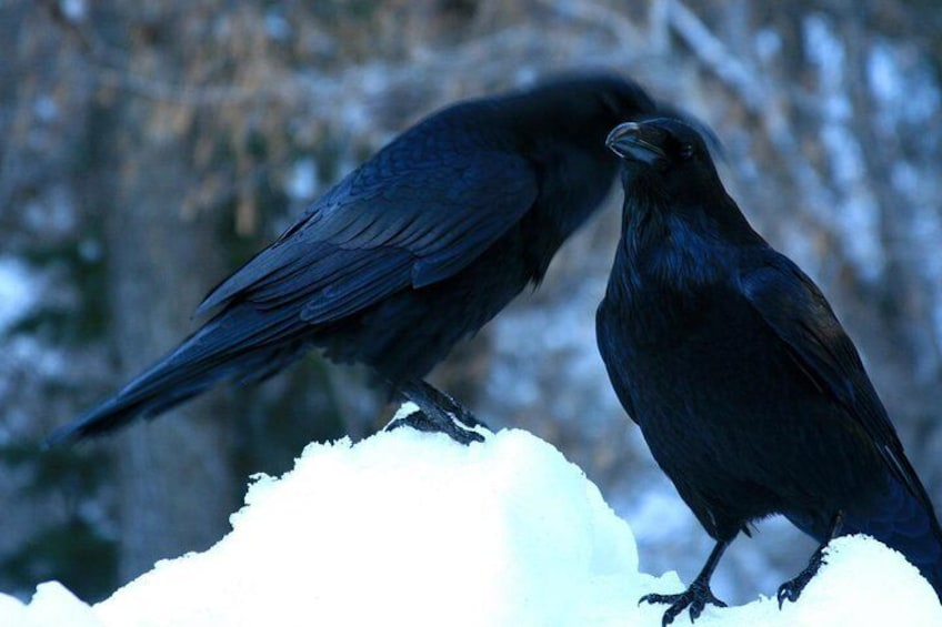 Even the ravens are whispering about this game!