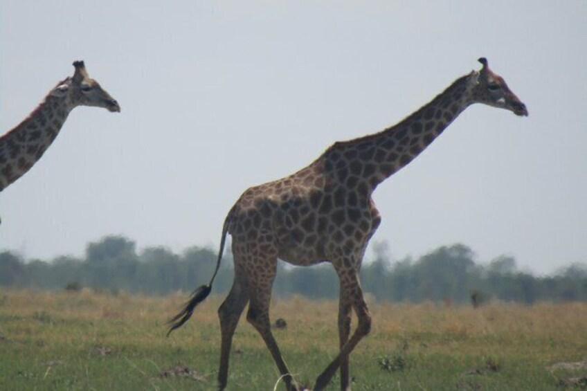Show item 5 of 14. Chobe Safari Game Drive: Full Day