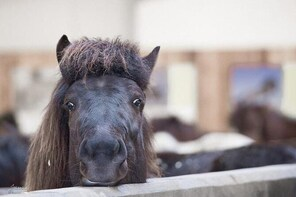 Experience the Icelandic horse - Stable Combo