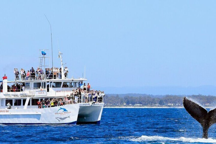 Whale Watching Jervis Bay