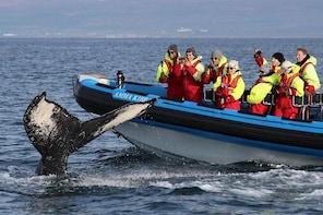 Whale Safari and Puffins RIB Boat Tour from Húsavík