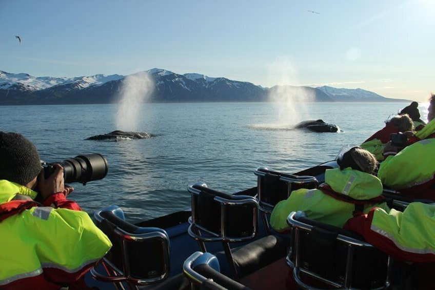 Original Big Whale Safari & Puffins from Húsavík