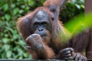Sepilok Orangutan & Sandakan City Tour