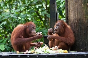 Sepilok Orang Utan, Sun Bear and Sandakan City Tour