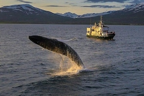 Whale Watching from the heart of Akureyri