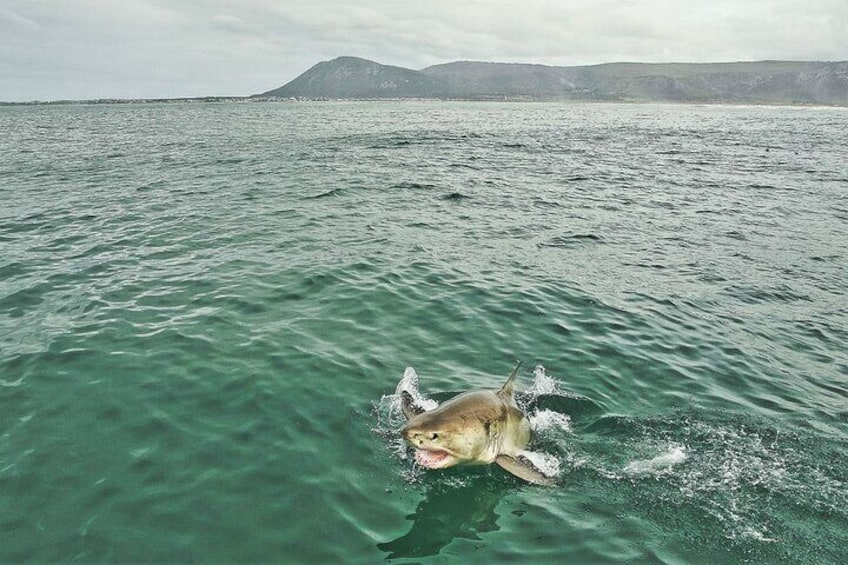 Great White shark breaching with Gansbaai in the background