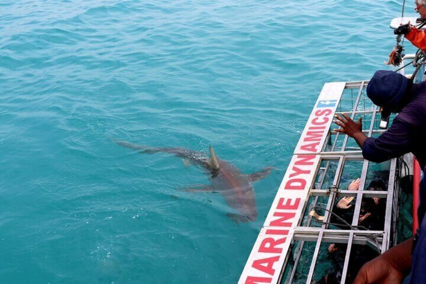 Bronze Whaler shark close to the cage