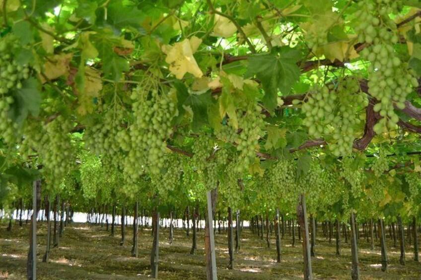 Show item 3 of 11. Seedless Grapes Farm Tour
