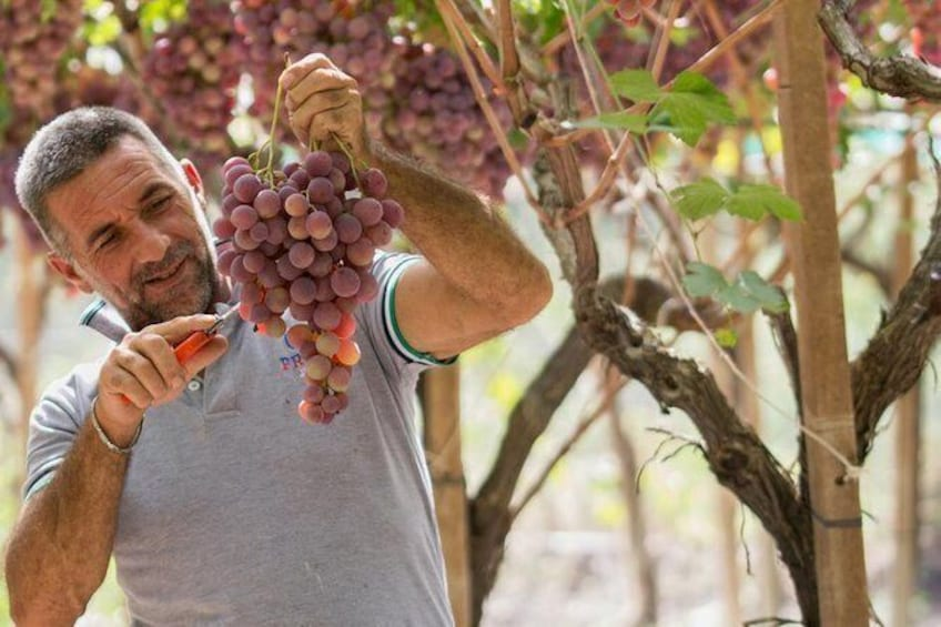 Show item 1 of 11. Seedless Grapes Farm Tour