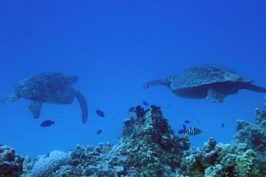 Show item 2 of 9. Green Sea Turtles are common.