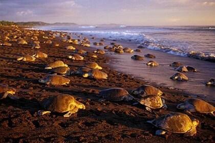 Night Turtle Nesting Tour to Camaronal Turtle Refuge