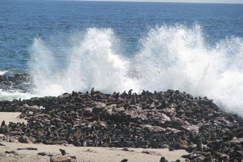 Show item 3 of 10. Thousands of Cape Fur Seals near the Surf.