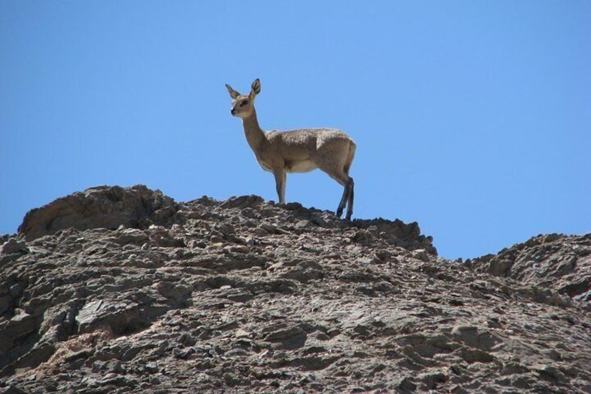 """Show item 3 of 10. """"Klipspringer"""" antelope can be seen at the Spitzkoppe Mountain"""
