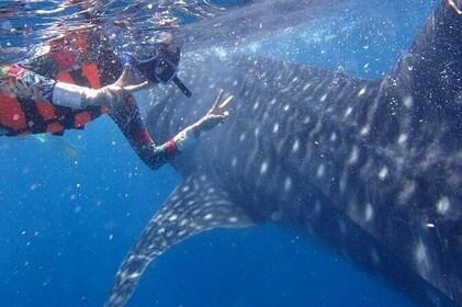 Cebu Whalesharks Snorkelling & Sumilon Island