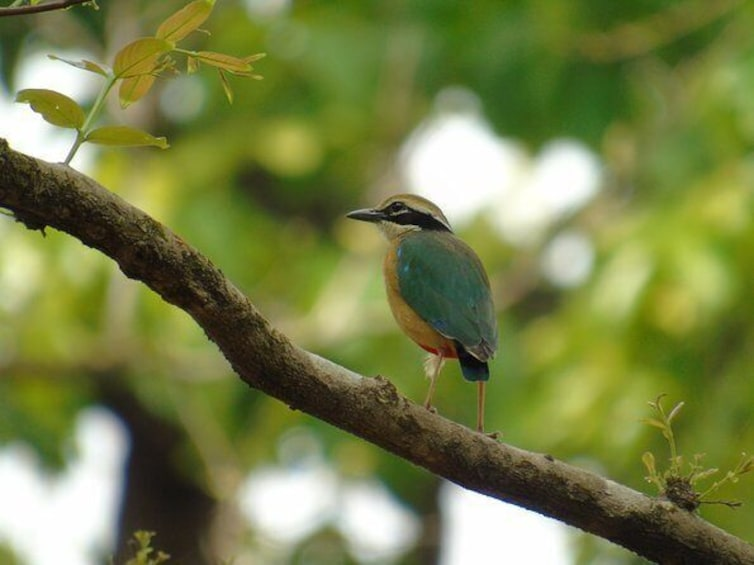 Show item 2 of 9. Indian Pitta, summer visitor.