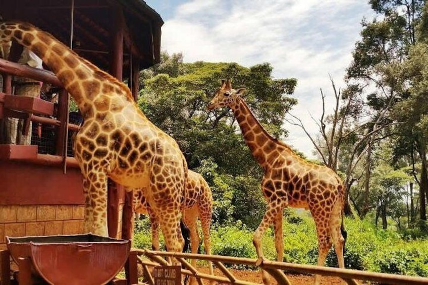 The Rothschild giraffe at giraffe center