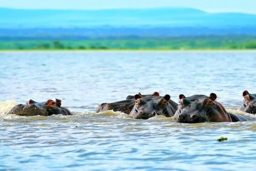A family of hippos at Lake Naivasha
