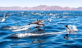 Dolphin and Whale watching Excite Tour by Speed Boat